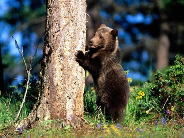 """Авторы.  Вышивка крестом.  Схема вышивки  """"Медведь """"."""