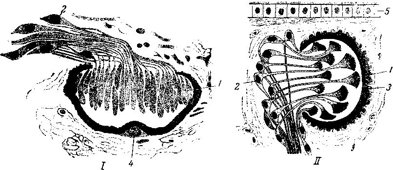 Глаза планарии