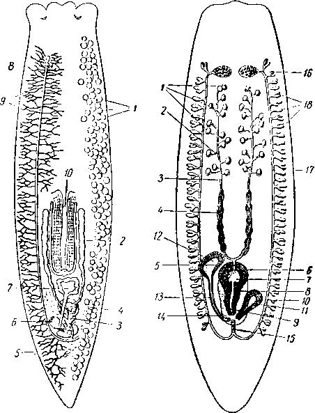 Схема половой системы планарии