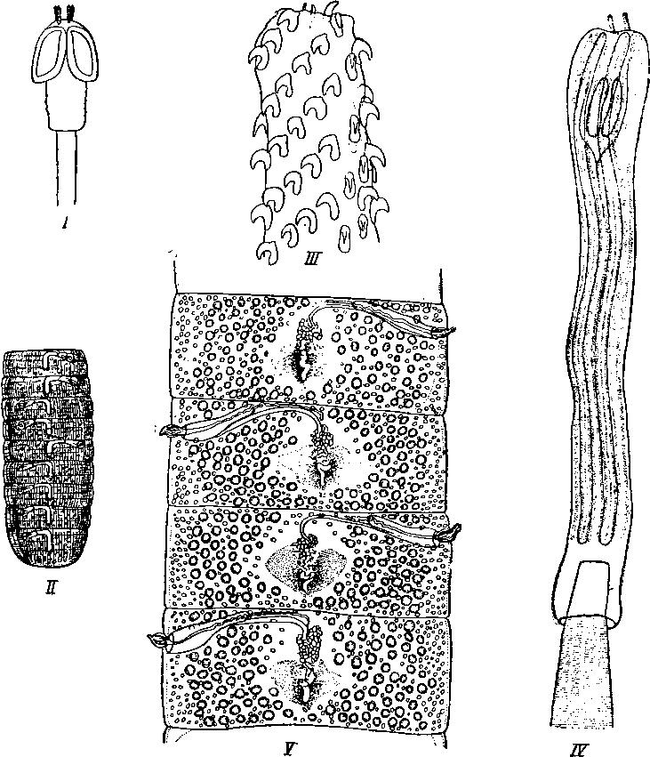 Тенопозид