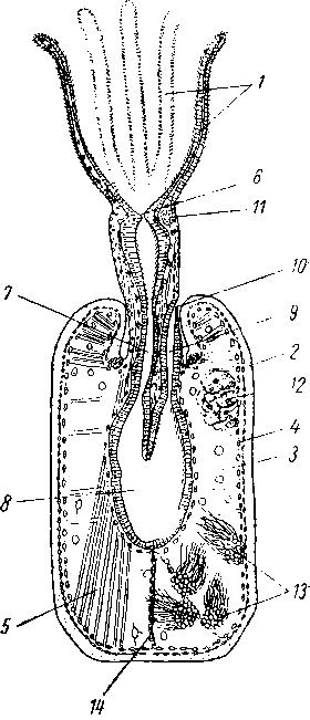 Схема строения отдельной особи