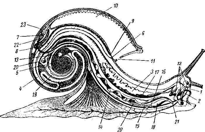 Схема строения улиток