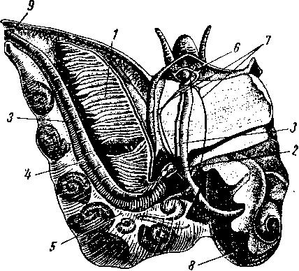 Распоожение анального отверстия у брюхоногих