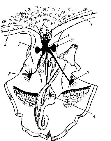 Нервная система осьминога