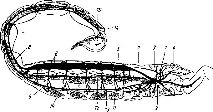 строение скорпиона, схема: