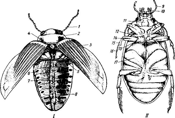 органы жука схема