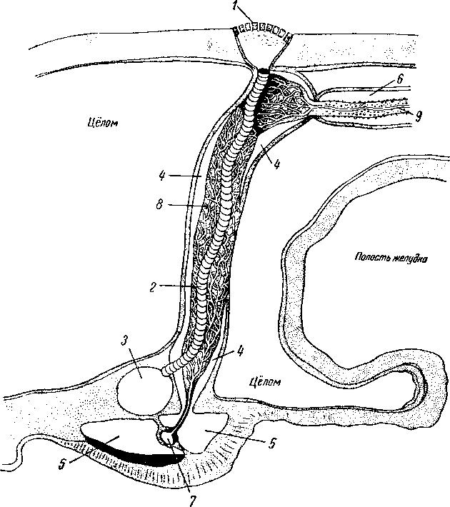 Схема строения осевого