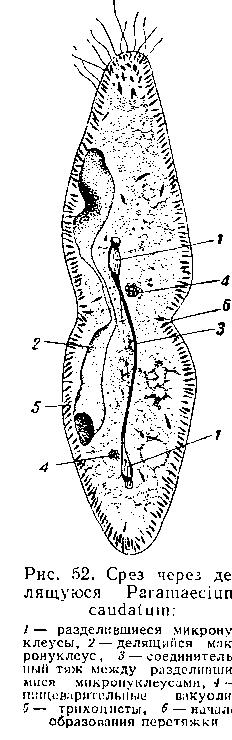 Конъюгация у Paramaecium