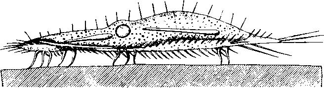стилонихия рисунок