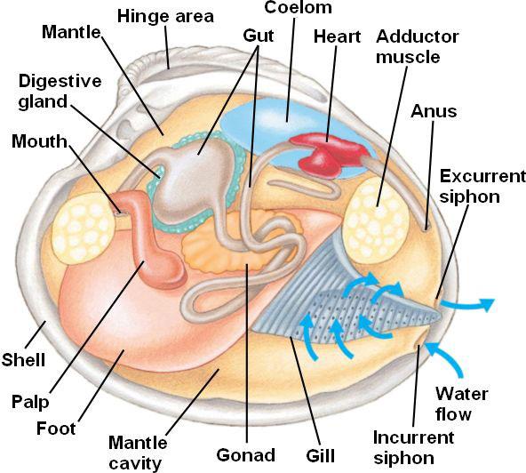 Системы органов двустворчатых