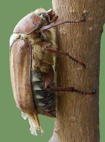 Майский жук на фото (картинки)