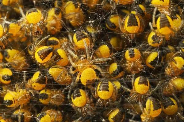 сколько яиц откладывает паук-крестовик воды