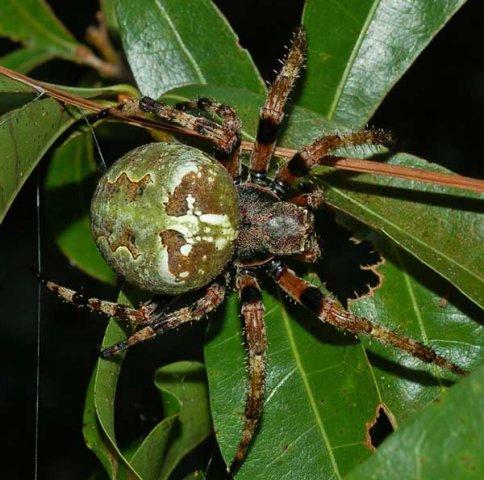 опытный сколько яиц откладывает паук-крестовик духах исключительно запаху
