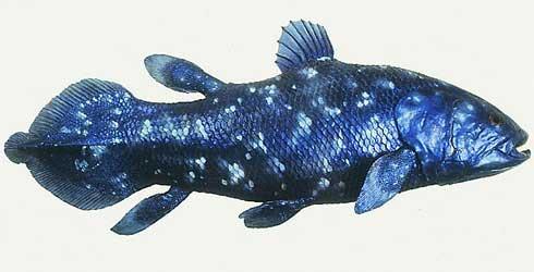 Кистепёрые рыбы — википедия.
