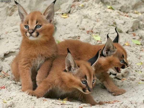 каракаллы кошки фото