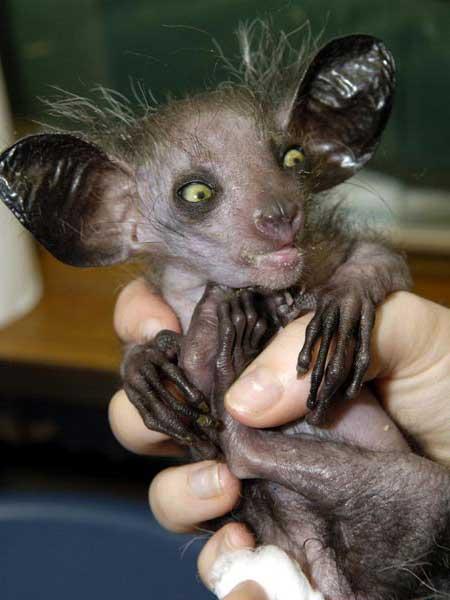 Мадагаскарская руконожка ай-ай. Описание, фото и видео руконожки ай-