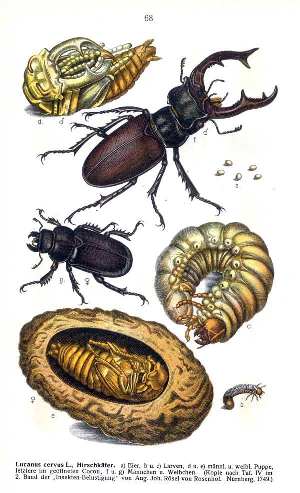 Lucanus cervus  википедия с комментариями
