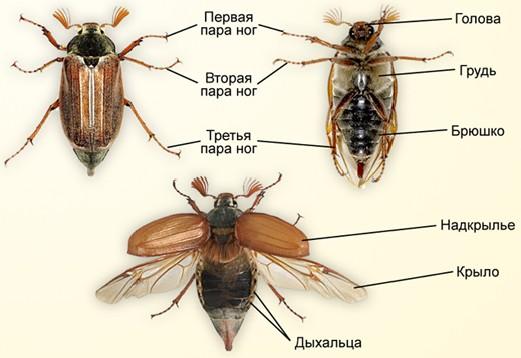 схема строения майского жука