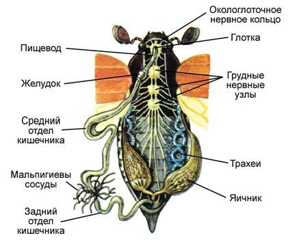 схема органов майского жука