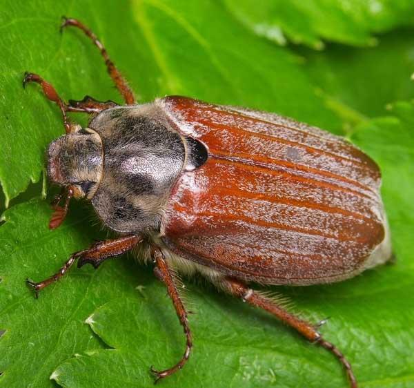 Майский жук - описание