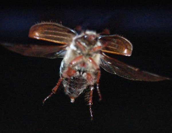 Строение майского жука