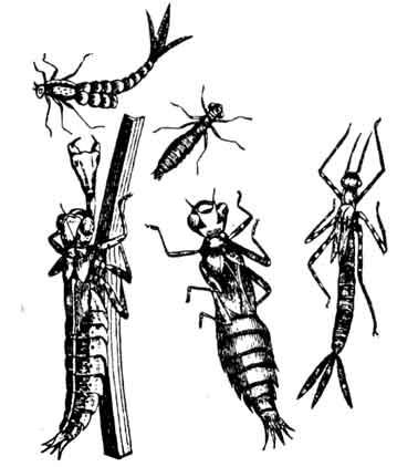 Личинки стрекоз на различных
