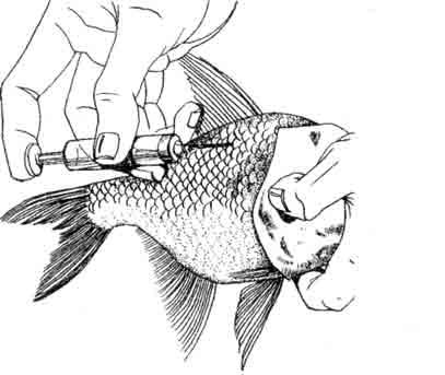 Инъецирование рыб