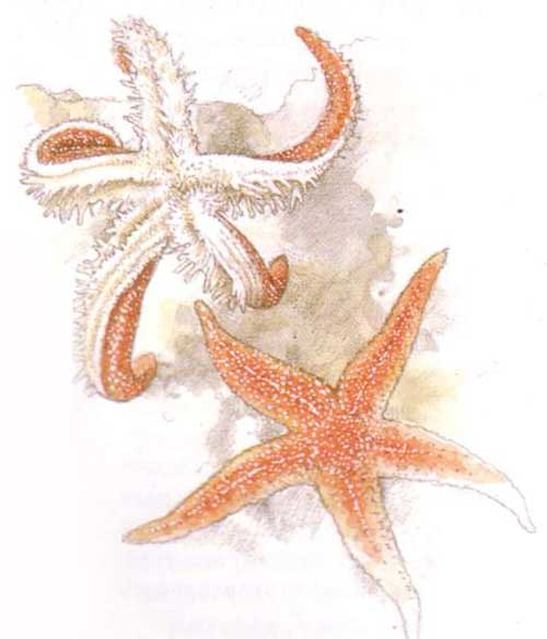 У морских звезд нет ни глаз, ни ушей
