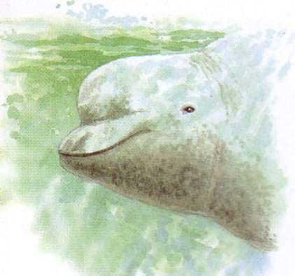 череп кита-белухи