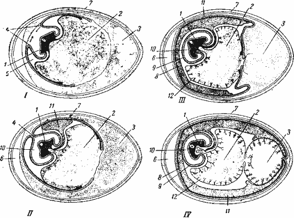 Продольный разрез куриного яйца на разных стадиях насиживания, схема.  1 - зародыш (разрез прошел поперек тела), 2...