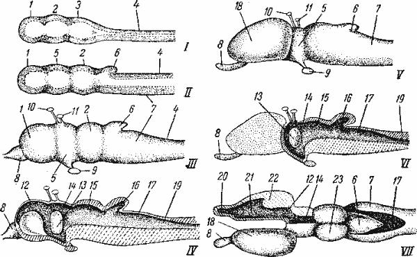 Схема головного мозга позвоночного (по Паркеру).  I -первая стадия (сбоку); II -вторая стадия (сбоку); III -вполне...