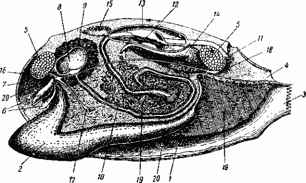 Внутреннее строение беззубки (схема) .
